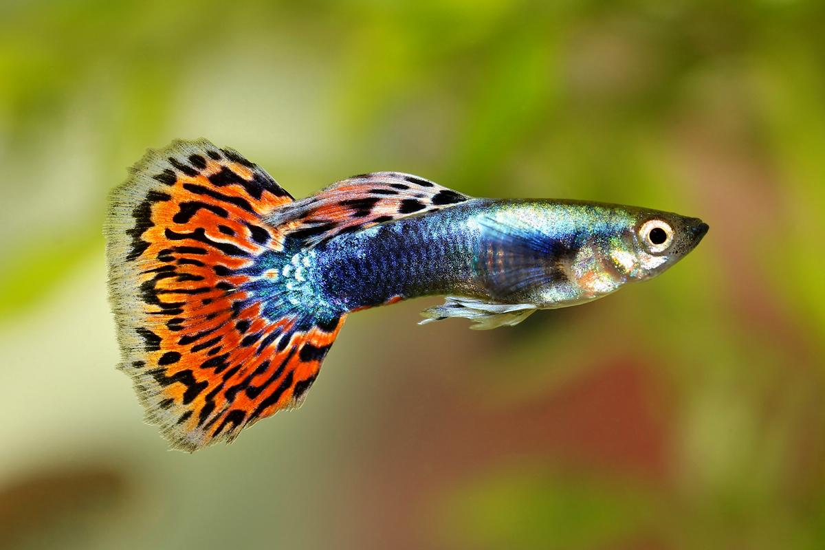 Rub n molina acuarios y medusarios en segovia y madrid for Cria de peces ornamentales